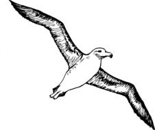 Albatross Seabirds drawing