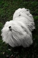 hairy white dog