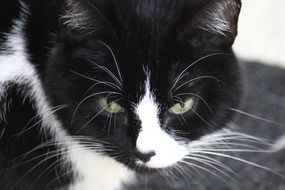 portrait of an adorable domestic black and white cat