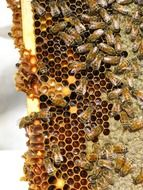 honey bees on honeycombs