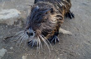 wet black Nutria head close up