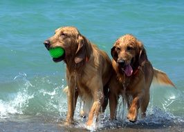 dogs playing with the ball in the water