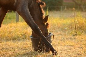 Domestic horse eats food from bucket