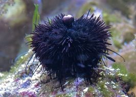 sea urchin is the inhabitant of the underwater world