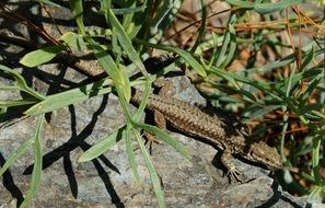 brown Lizard on Stone under plants