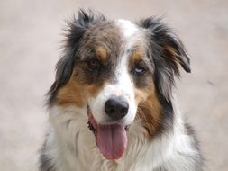 Beautiful Australian Shepherd dog