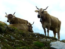 Milk cows on a mountain