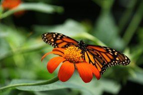 wild orange butterfly on the orange flower