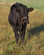 grazing black calf