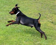 Doberman is running through a meadow