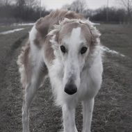 barzoi is a hunting dog