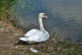 young white swan on the lake