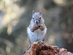 squirrel with fir cone in the park