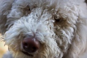 curly dog close up