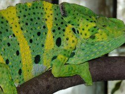 beautiful chameleon on a branch