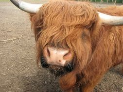 beautiful and cute Cow Ox Cattle