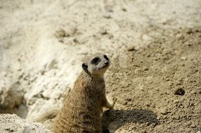 meerkat on sandy ground