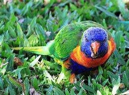 Beautiful colorful parrot on the grass