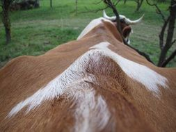 spine of a cow