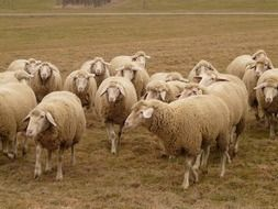 flock of sheep in pasture in spring