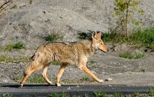 coyote or meadow wolf