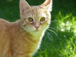 ginger domestic cat on a green meadow