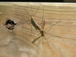 mosquito reproduction