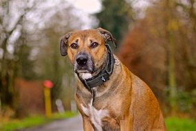 dog with a black collar sits and waits on the road