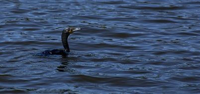 Picture of Double-Crested Cormorant bird