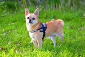 Chihuahua Dog in green Grass portrait
