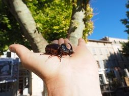 rhinoceros beetle on the palm
