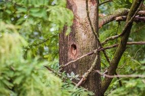 woodpecker hollow on a tree