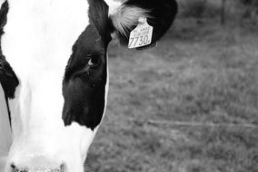 Black and White Cow head with number on ear close up