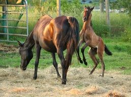 frolicking foal and mare
