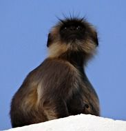 furry brown monkey against a blue sky