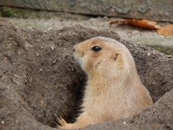 prairie dog in the hole