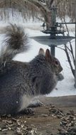gray squirrel among nature