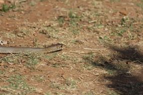 brown snake in india