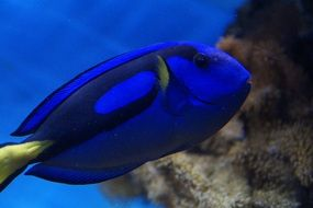 surgeonfish on a coral reef