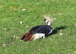 resting grey crowned crane