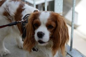 Cavalier King Charles spaniel on a leash near the iron grating