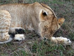 Lion is lying on the grass in Kenya