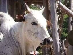 white cow at the zoo