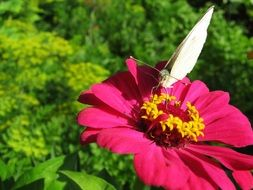 white butterfly on pink gerbera
