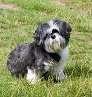 Dog Shih Tzu Cute