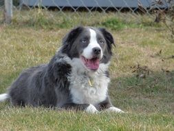 grey and white border collie with blue eyes
