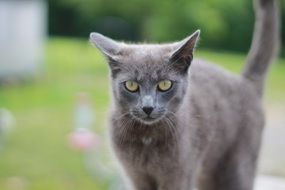 gray cat on the lawn grass