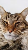 portrait of an unhappy maine coon
