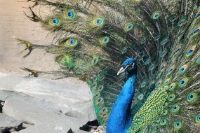 peacock with a tail in the park