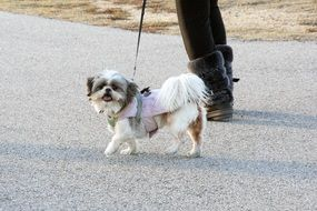 little dog on a leash